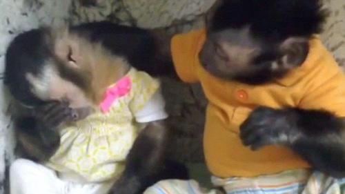 """""""暖男""""小猴安慰伤心雌猴 送给其爱的抱抱(图) 图为小猴安慰伤心同伴。"""