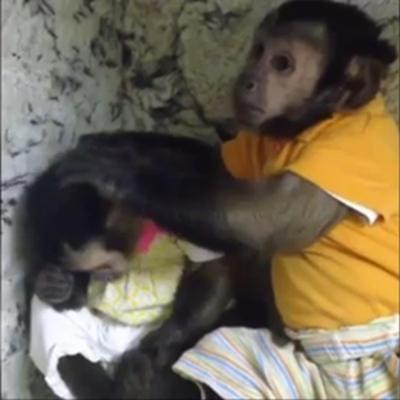 """""""暖男""""小猴安慰伤心雌猴 送给其爱的抱抱(图) 送给它爱的抱抱。"""