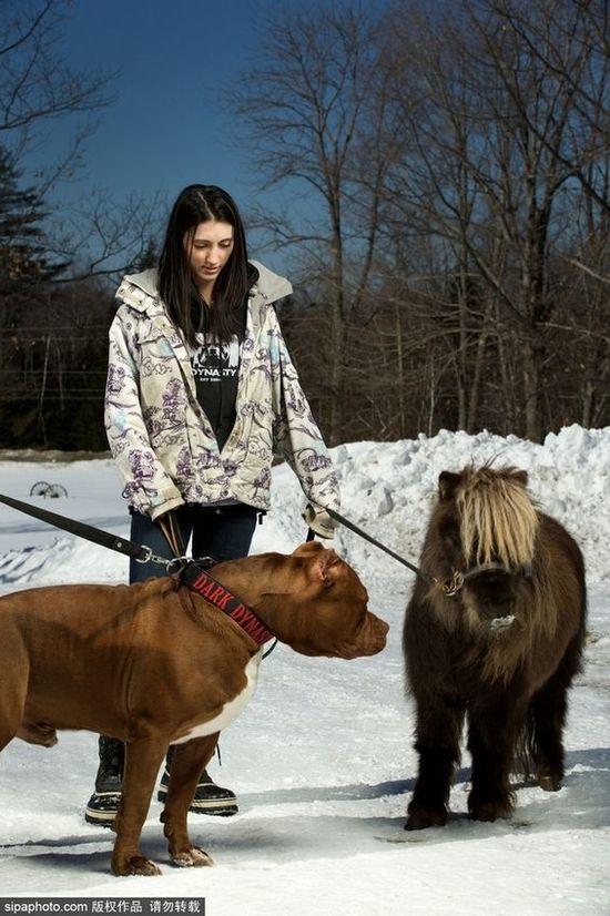 """全球最大比特犬重152斤 主人将其当马骑 """"笨船""""与主人"""