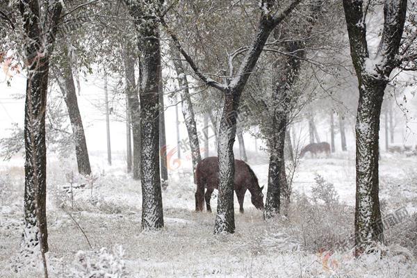 张家口市迎来今秋初雪 沽源境内雪中林地一景。