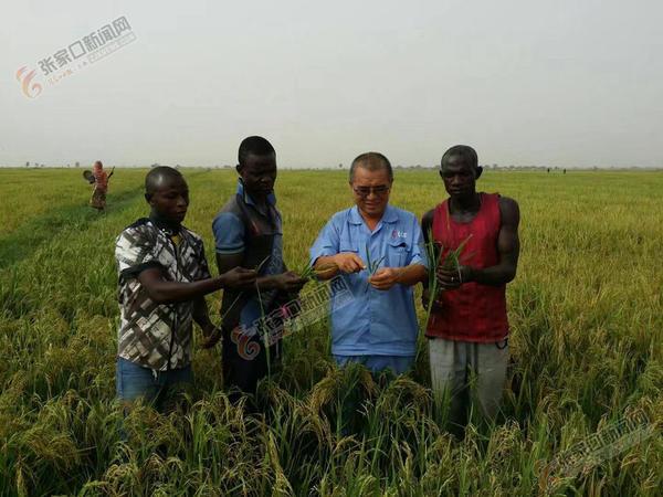 章彦俊:把技术和收获留给非洲大地 章彦俊(左三)与尼日利亚瓦瑞农场员工一起研究谷子生长情况