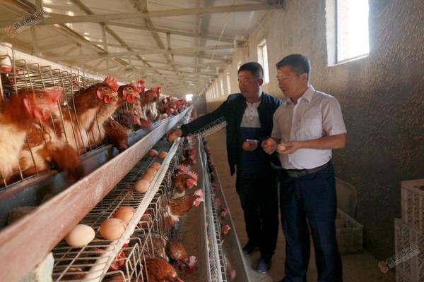 赤崖堡抱团养鸡年入300万 杨新文在养鸡大棚调研。郭俊和摄