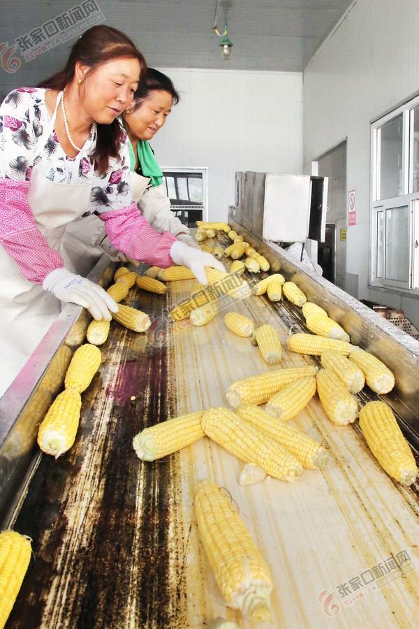 鲜食玉米远销国内外 图为该区穗康鲜食玉米加工厂对收获的鲜食玉米进行精深加工。马佳琦 李海虹 摄