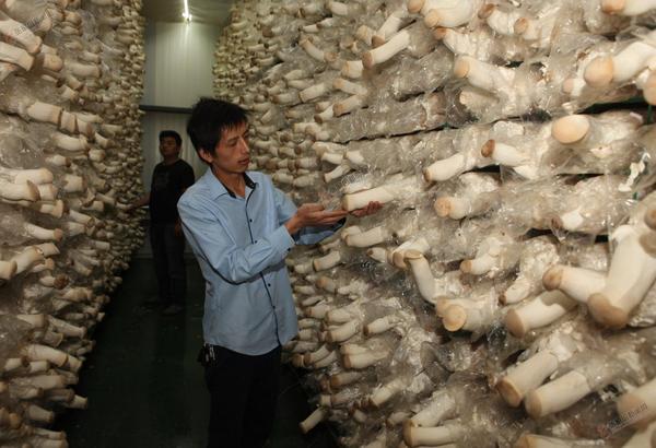 """杏鲍菇为台路沟撑开""""脱贫伞"""" 引进菌菇生产企业。 曹东宇 摄"""