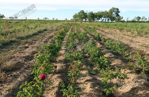 【脱贫攻坚记】东骨头淖再也见不到闲着晒太阳的人 村里种植的玫瑰花。 胡年帅 韩建国 摄