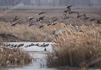 候鸟迁徙壶流河