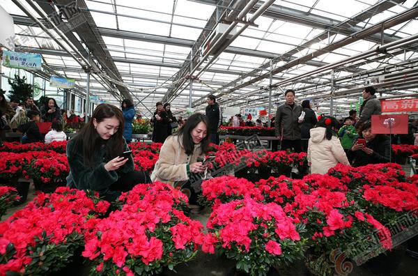 正月里来闹元宵 市植物园花卉市场鲜花竞相开放,引来众多市民赏花拍照。陈飞摄