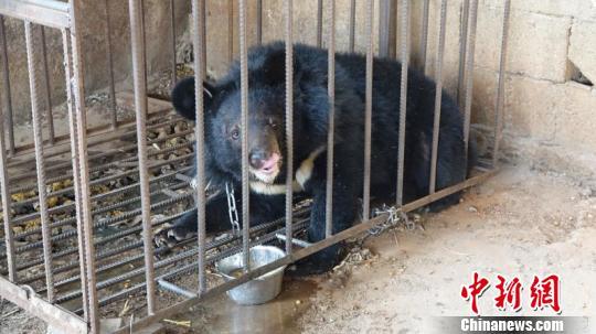 图为涉事黑熊。 钟欣摄