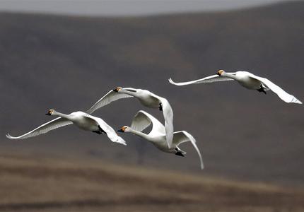 候鸟翔集 闪电河湿地舞翩跹