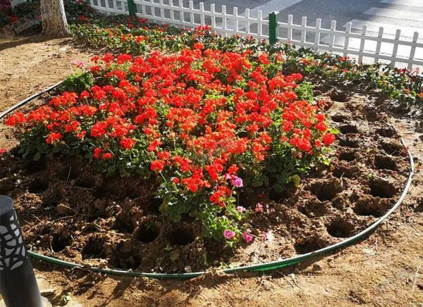 张家口胜利中路丢失花卉1000多盆 花坛中的黄菊花荡然无存。