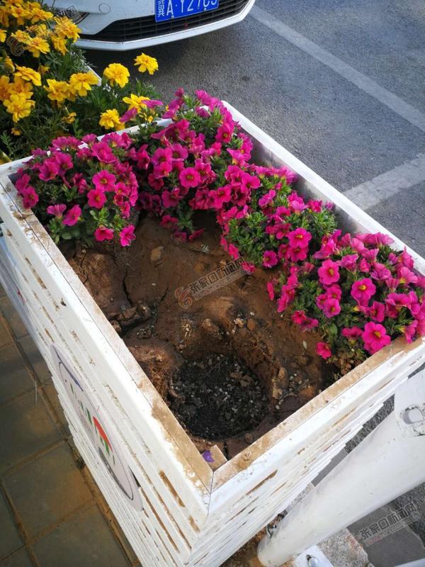张家口胜利中路丢失花卉1000多盆 花箱中的鲜花连同花盆不翼而飞。