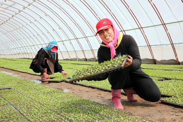 绿色蔬菜远销国外 和颖摄