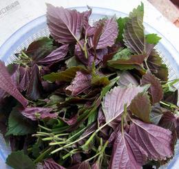 紫苏营养价值高却不能多吃