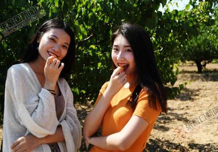 石片黄杏采摘节浓浓的文化味