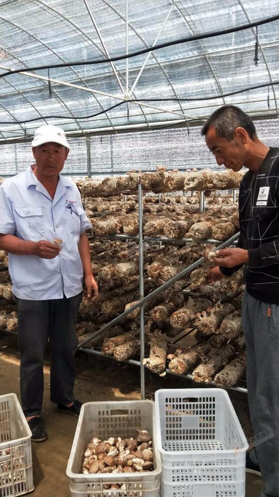 【脱贫攻坚记】小庄村:农业产业化是条致富路 村民收获香菇。