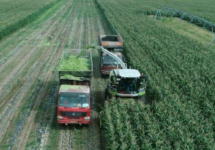 河北塞北:金秋青贮玉米正当时