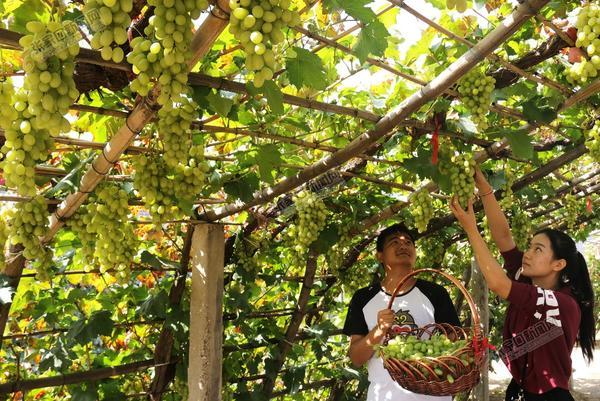 """宣化:""""乡村旅游综合体""""助脱贫 9月13日,游客在宣化区塔儿村乡窑子头村休闲农场采摘葡萄。"""