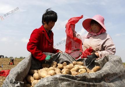 察北萬畝馬鈴薯喜獲豐收
