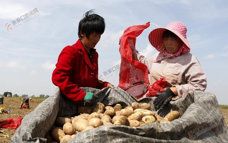 察北万亩马铃薯喜获丰收