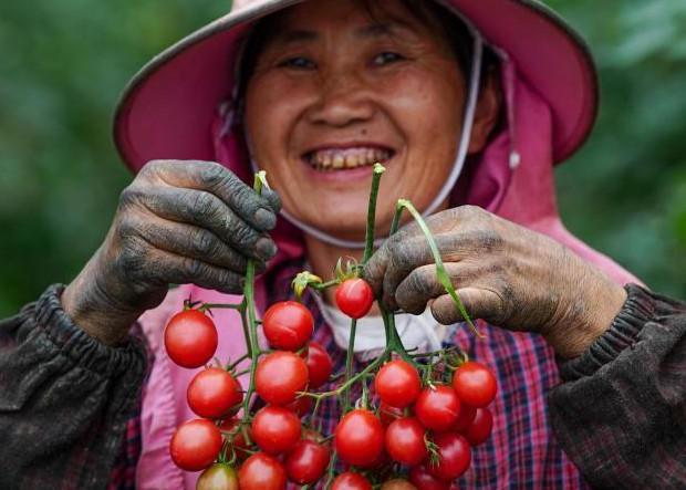 贵州大方对江镇果农喜迎圣女果丰收