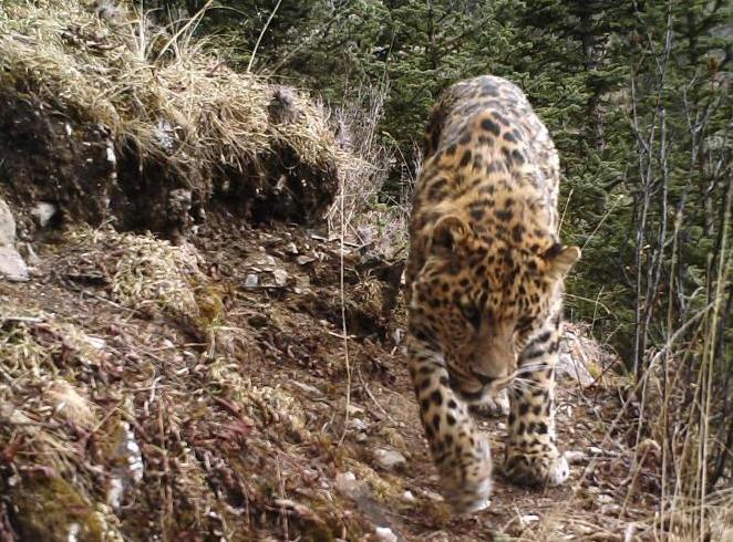 红外相机在青川藏交界处拍摄到野生动物