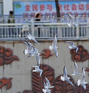 红嘴海鸥现身清水河