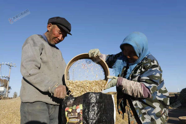 金秋收获打谷忙 10月12日,尚义县满井镇牛家村农民在打谷场上收获莜麦。