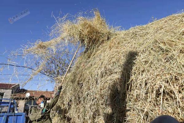 金秋收获打谷忙 10月12日,尚义县满井镇赛汉不落村农民把脱粒后的小麦秸秆进行打垛。