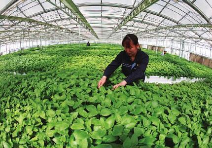 現代農業綻魅力塞北管理區托起綠色豐收夢