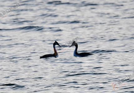 怀来:官厅水库国家湿地公园渐成鸟的天堂