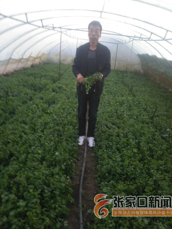 """【脱贫攻坚记】""""候鸟菜商""""刘宝斌引领村民种""""市场菜"""" 刘宝斌在蔬菜大棚查看蔬菜长势。"""