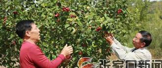 【脱贫攻坚记】张家口屯军堡村:金红苹果为脱贫加速