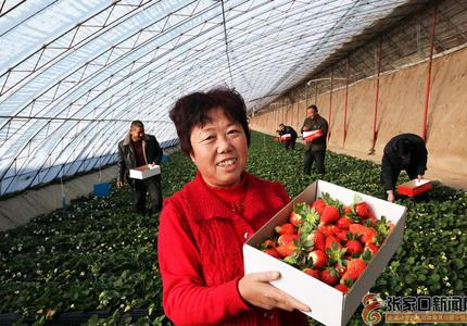 草莓红了 村民富了