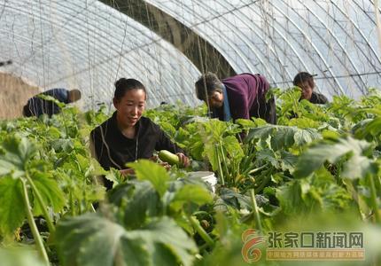 """张家口阳原:绿色蔬菜丰富节日""""菜篮子"""""""