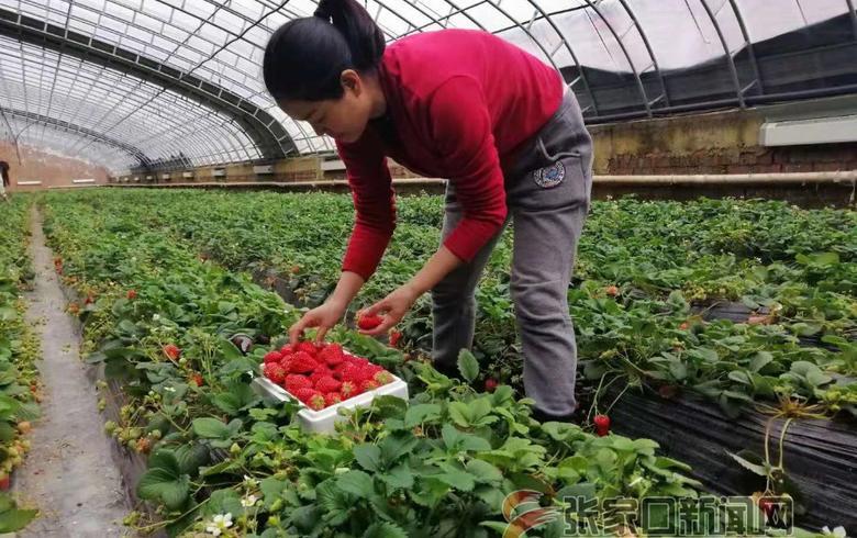 崇礼:草莓种植走出致富新天地