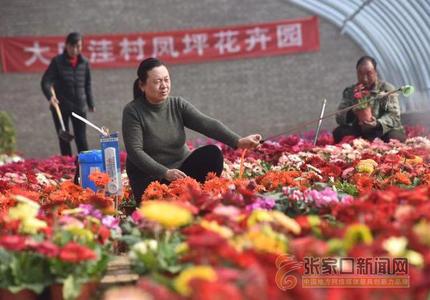河北阳原:扶贫花卉迎春来