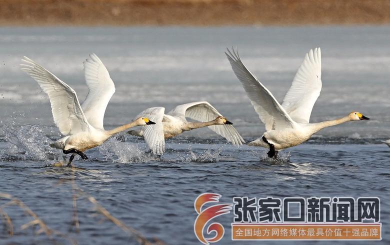 成群候鸟翔集张家口沽源闪电河湿地