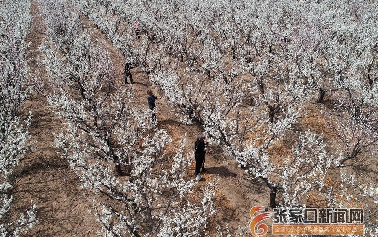 河北宣化:阴山脚下李花香拓宽农民增收路