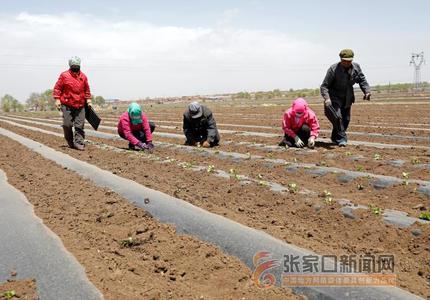 张家口张北:初夏蔬菜种植忙