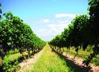 懷來沙城葡萄產業發展歷程