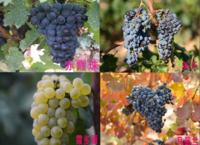 懷來葡萄美名廣為流傳
