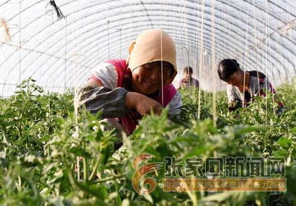 宣化:高寒蔬菜种植助力乡村振兴