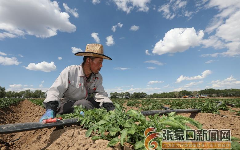 """張家口沽源20多萬畝蔬菜喝上""""自來水"""""""