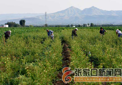 宣化:夏至农忙