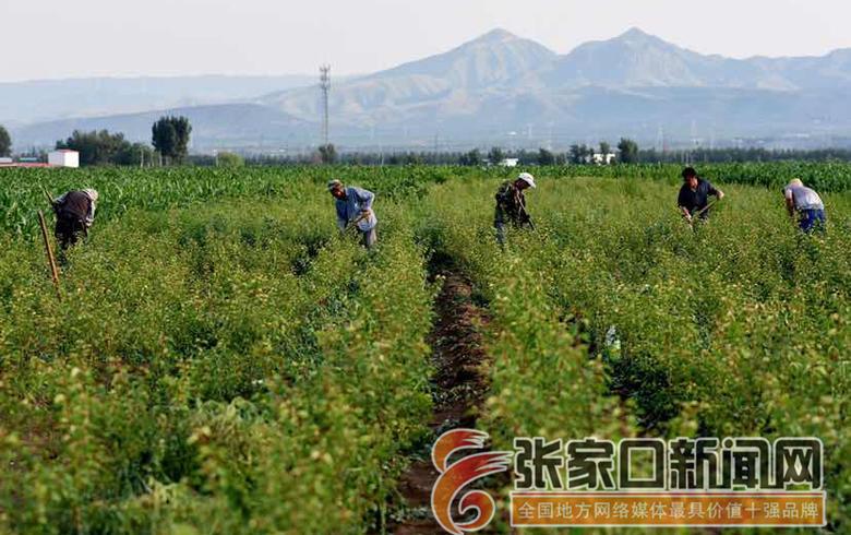 宣化:夏至農忙