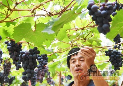 懷來葡萄熟了