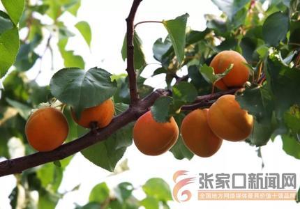 石門村 黃杏滿枝喜獲豐收
