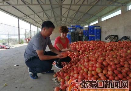 杨建云:打造西红柿村,让乡亲们过上红火日子
