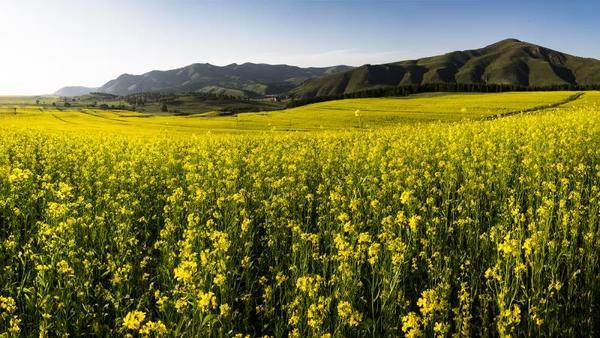 油菜花海泛金波 油菜花盛开,呈现出生机勃勃的夏日美景。