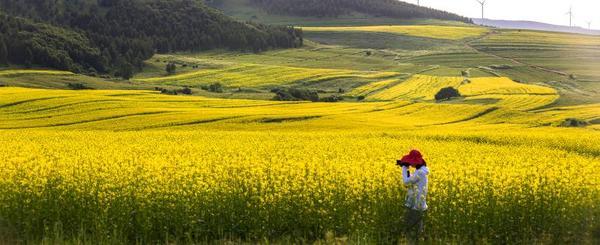 油菜花海泛金波 花田草海吸引着来自各地的游客。